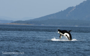 JPod Orca Breech, San Juan Islands, Haro Strait